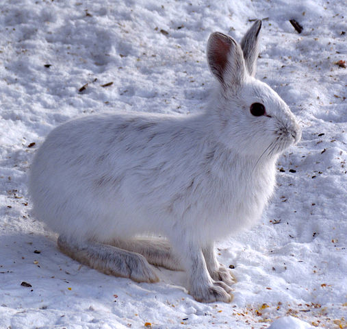 Snowshoe Hare (Lepus americanus), white morph, Shirleys Bay, Ottawa, Ontario, Canada, Photographed by D. Gordon E. Robertson